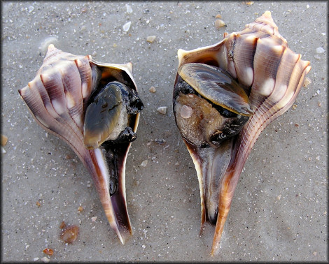 lightningwhelk