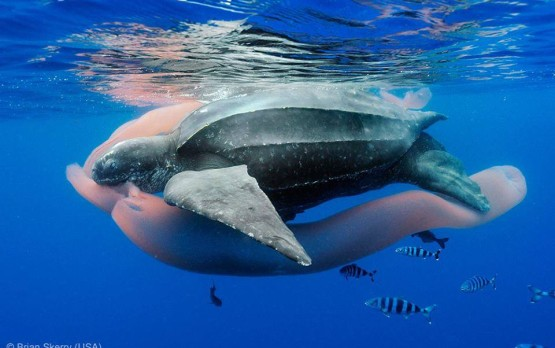Leatherback-Sea-Turtle12-555x348