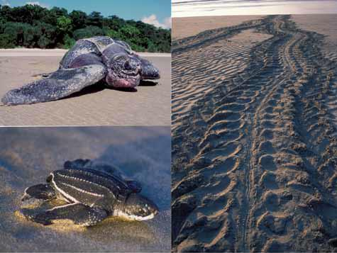 leatherbacktrack