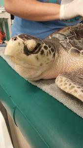 marine-biology-sea-turtle-at-hospital