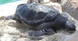 Black turtle Nesting