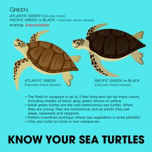 Green-Sea-turtle-and-black-300x300