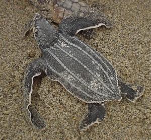 Marine-Biology-Leatherback-Hatchling
