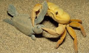 crab hatchling