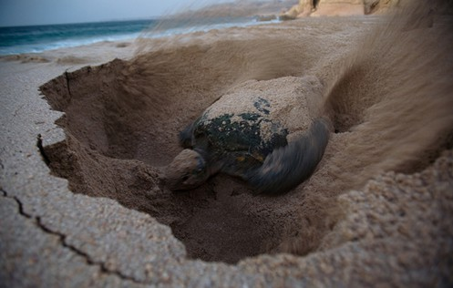 sea-turtle-digging-nest