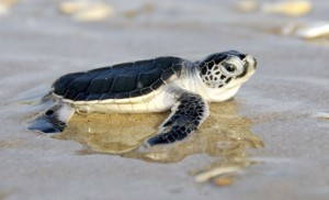green-sea-turtle-hatchling