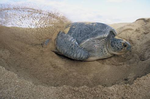 green-turtle-nesting