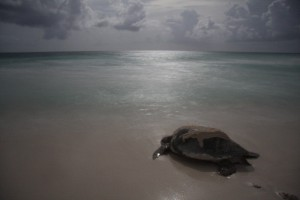 sea-turtle-returns-to-sea