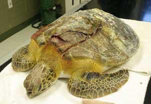 boat hurt turtle