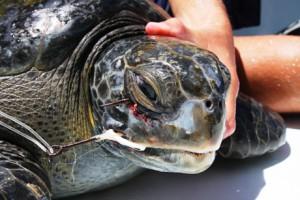 hooked sea turtle