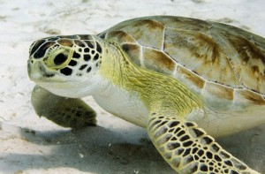 juvenile-green-sea-turtles-journey-in-the-sea