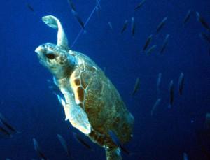 Turtle Caught in Longline